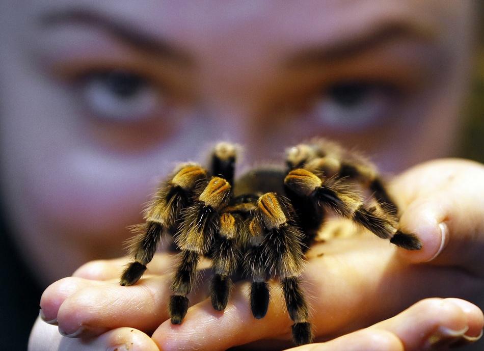 英国伦敦动物园进行年度盘点时,凯珀·埃米·卡拉汉与一只红膝蜘蛛近