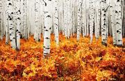 自然风光:山杨树的五彩新衣