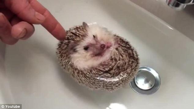 宠物小刺猬洗澡视频蹿红网络