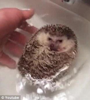 萌翻了 看小刺猬怎么洗澡 宠物杂谈 宠物地带 -萌翻了 看小刺猬怎么洗澡