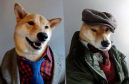 英俊柴犬卖萌示范潮男装
