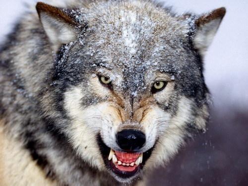 有关狼的十个事实:同类相食纯种数量减少