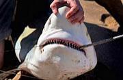 美国棕榈滩海岸鲨鱼集体迁徙