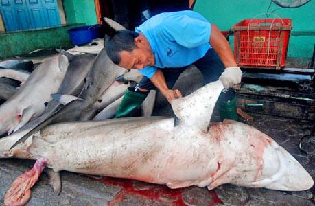 血腥鱼翅:印尼渔民残忍捕杀鲨鱼