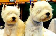 全球狗狗盛会:2013英国赛狗会