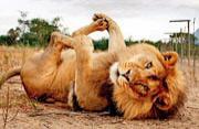 萌态狮虎亲近人类显猫性