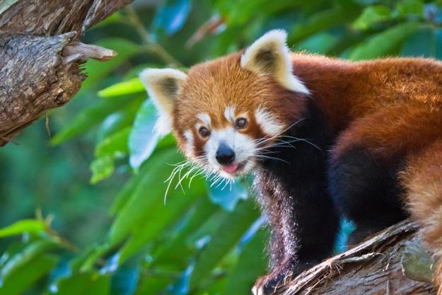 会微笑的濒危动物——小熊猫