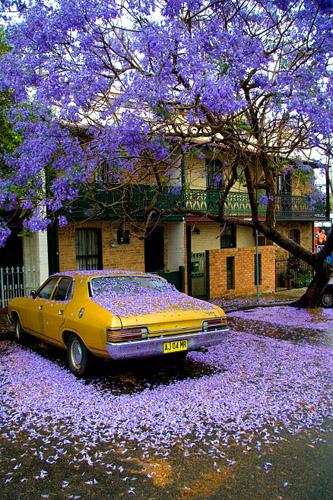 军事资讯_悉尼春天的迷人风景 落花满地让人心醉_旅游_环球网