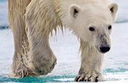 北极熊:北极食物链顶层的动物