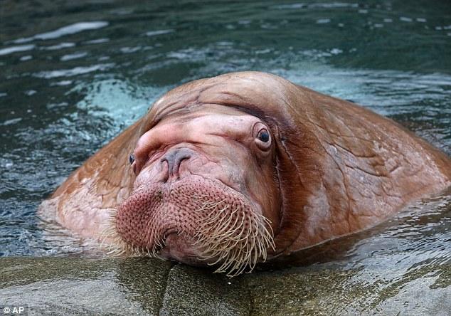 俄近2吨重巨型海象落户德动物园