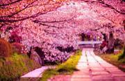 全球最美丽的樱花盛开景观
