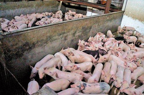 大量越南乳猪走私流入广州 八成未经检疫(图)