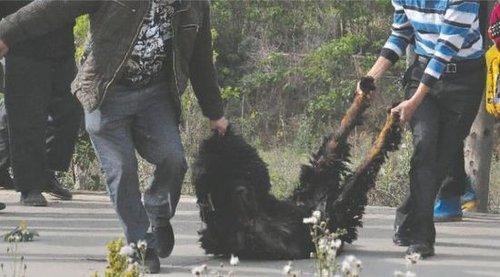 双流凤凰村两只巨型藏獒袭击村民,民警用手枪将其当场击毙
