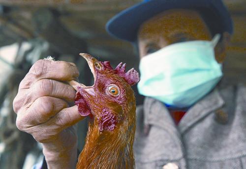 图说:5日,上海的养殖户给自家的鸡喂药。