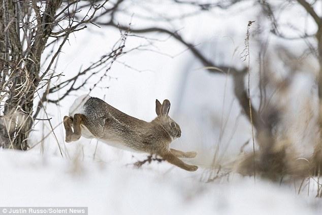 兔子 奔跑/加拿大灰兔雪中奔跑动作优美(5/5)