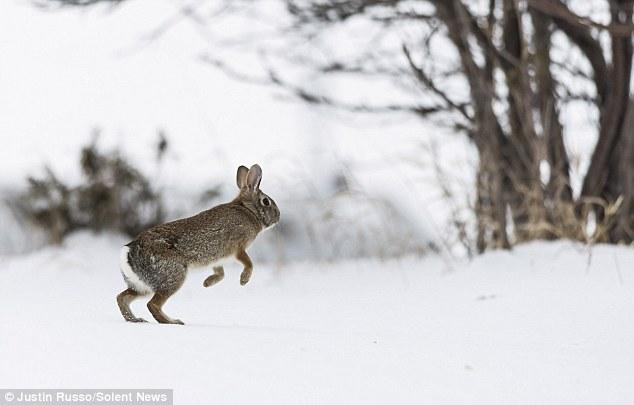 兔子 奔跑/加拿大灰兔雪中奔跑动作优美(4/5)