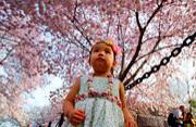 美国华盛顿樱花浪漫绽放
