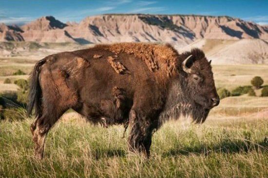盘点美国各大国家公园的标志性动物