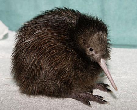 这种鸟没有翅膀,没有尾巴,长长的嘴,形象奇特有趣.