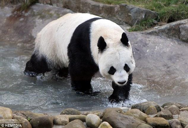 英动物园大熊猫配对前阳光下放松