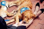 """灾难后的疗伤者:""""抚慰犬""""金毛"""