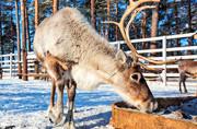 北方驯鹿:严寒地区牧民的好帮手