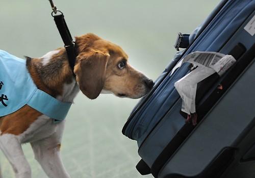 日羽田机场用小型猎犬嗅行李防止禽流感_旅游