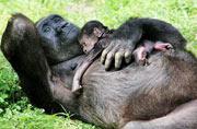 荷兰猩猩妈妈带幼崽出行神情骄傲