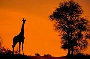 非洲大草原剪影图展壮美景象