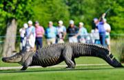 三腿鳄鱼高尔夫球场漫步球手淡定