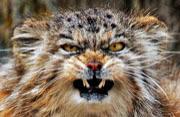"""瑞士""""愤怒的小猫""""成游客宠儿"""