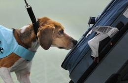日羽田机场用小型猎犬嗅行李防止禽流感