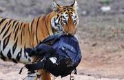 """印母老虎""""偷走""""游客相机袋被拍"""