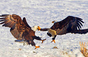 美国两秃鹰为争猎物大打出手