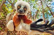 马达加斯加的濒危灵长动物狐猴