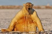 美摄影师拍北极熊炫跳水绝技自得其乐