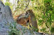 美洲豹9米树上一跃而下扑食羚羊