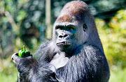英大猩猩手持青椒做鬼脸憨态十足