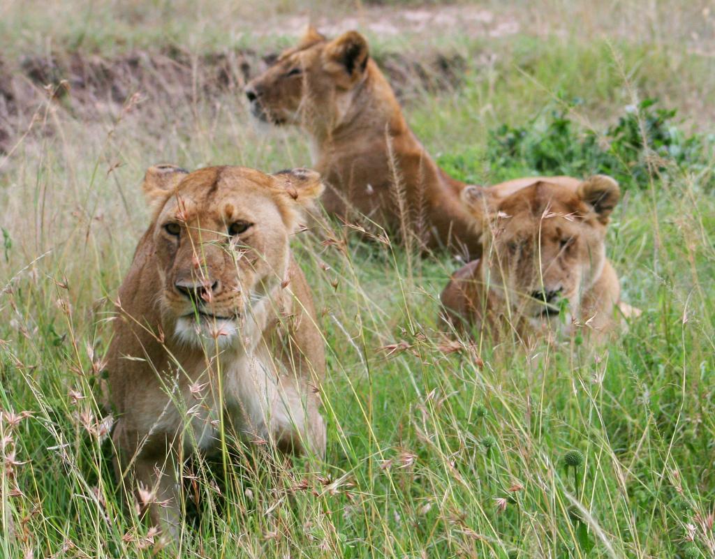 狮子、豹子、大象、犀牛、水牛、疣猪、豺狼等众多野生动物栖息于