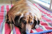 美超重腊肠犬成功瘦身后变明星