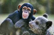 美动物园小灰熊与猩猩成亲密好友