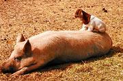 美农场可爱羊羔跃上猪背令人捧腹