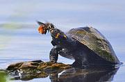 饥渴蜜蜂吮吸乌龟眼泪吸取营养