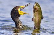 饥饿鸬鹚静候良机捕食虹鳟鱼瞬间