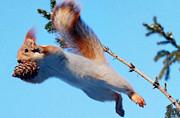 俄罗斯松鼠跳跃空中寻松果似超人