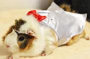 日本设计师为豚鼠打造潮服受热捧