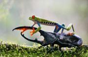 哥斯达黎加红眼树蛙大战大角甲虫