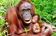 加拿大新生小猩猩躺母亲怀中打盹