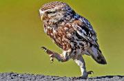 猫头鹰为幼雏觅食昂首阔步似行军