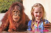 英女孩与猩猩好友4年后面临分离